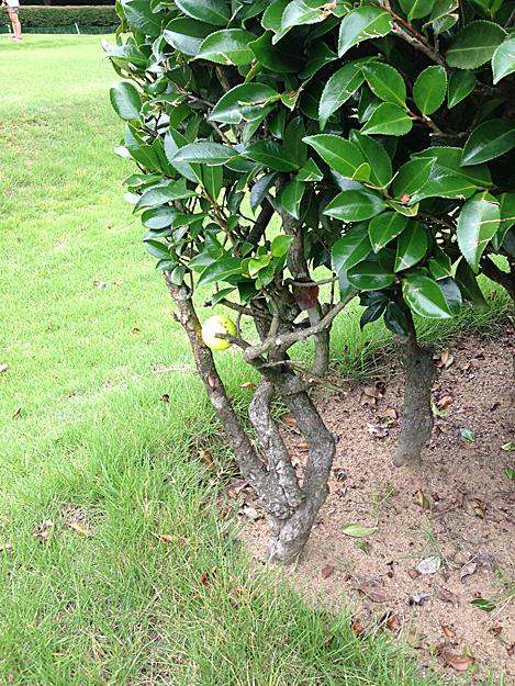 加賀会長のゴルフボール木に引っかかる2