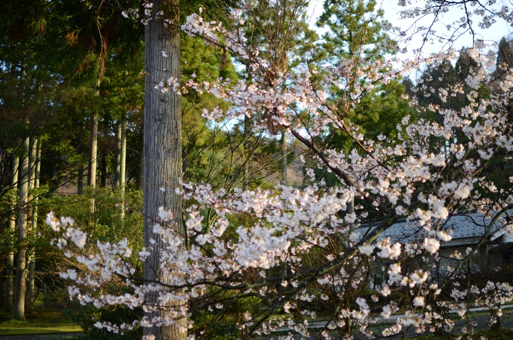 味真野の桜1