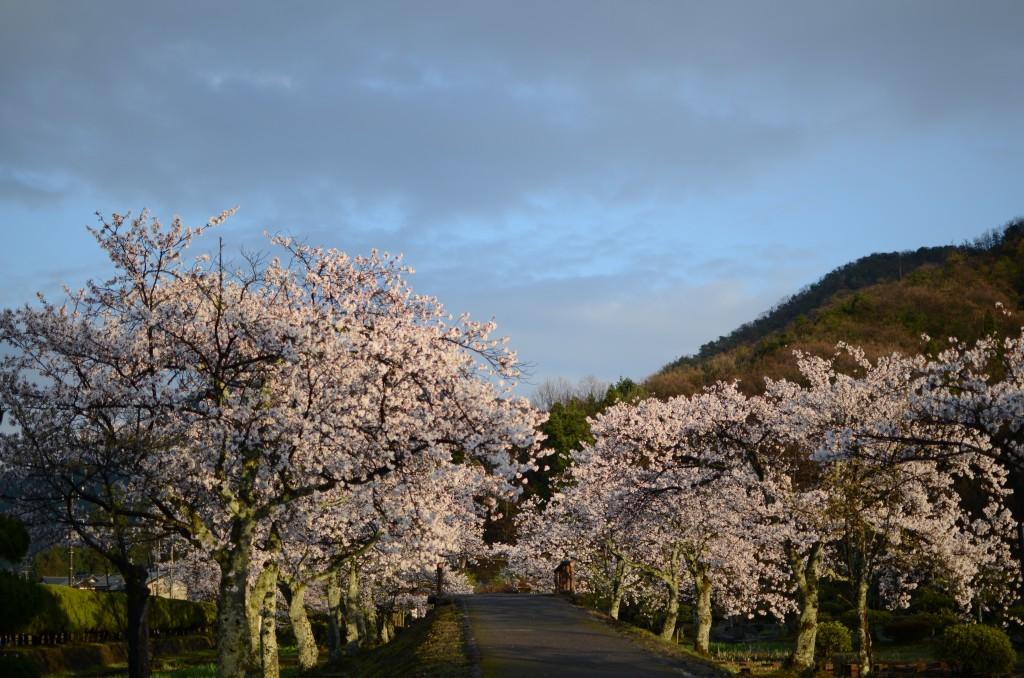 味真野の桜2